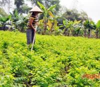 Rau ngót ở xã Nam Thái (Nam Đàn) thu nhập 230 triệu đồng/ha