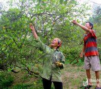 Chanh tăng giá kỷ lục nhưng người trồng không vui