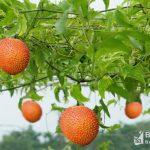 Nghệ An: Gấc dược liệu trồng theo phương pháp organic đạt giá trị 1,2 tỷ đồng/ha